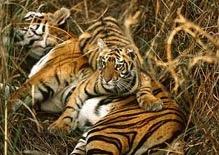 Plan de dublare a populatiei mondiale de tigri pana in 2022