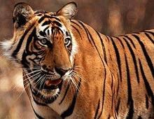 Populatia de tigri a scazut pana la un nivel record