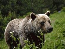 Ursul carpatin, victima `depasirilor la hectar`