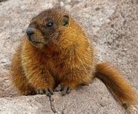 Schimbarile climatice creeaza super-marmote