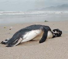 Peste 500 de pinguini, gasiti morti pe plajele braziliene