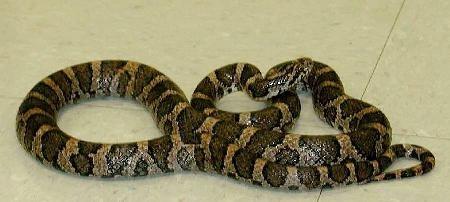 Atentat cu serpi<br>