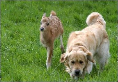 Un pui de caprioara adoptat de caini