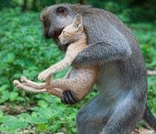 Pisica adoptata de o maimuta