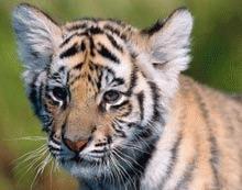 Pui de tigru ascuns intr-o valiza cu animale de plus