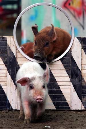 Olimpiada Porcilor la Shanghai<br>