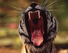 80 milioane de dolari anual e pretul conservarii tigrilor