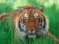 Uleiul de palmier condamna la extinctie tigrii din Indonezia