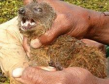 O noua specie de carnivore a fost descoperita in Madagascar