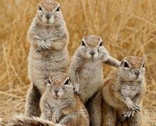 Politistii britanici, pe urmele unei bande de veverite