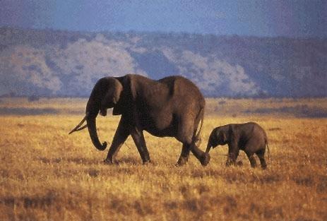 Elefantii sunt buni imitatori