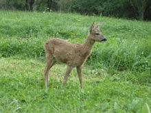 Despagubiri pentru daunele produse de animale protejate