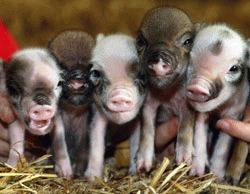 Porcii miniaturali, noii cobai ai cercetatorilor