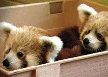 Mozilla Firefox a adoptat doua vulpi portocalii