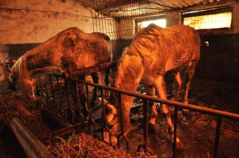 ALPAB trimite hrana pentru caii abandonati de la Fierbinti