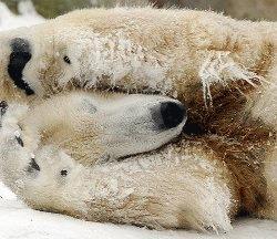 Ursuletul Knut a murit din cauza unei crize de epilepsie
