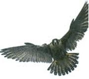 Vulturii ne apara de... porumbei?