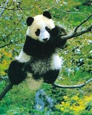 Ursi Panda infometati
