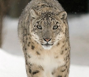 Leopardul de zapada, salvat de la disparitie cu ajutorul criogeniei