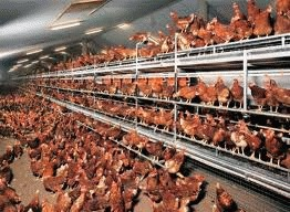 Romania, somata de UE sa imbunatateasca viata gainilor ouatoare