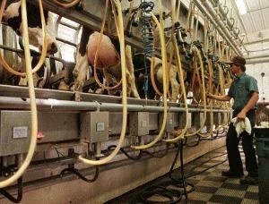 Europa asteapta lapte romanesc certificat