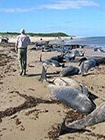 Peste 100 de balene si delfini au esuat in Tasmania