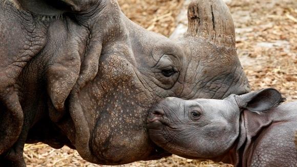Rinocerul conceput după moartea tatălui său