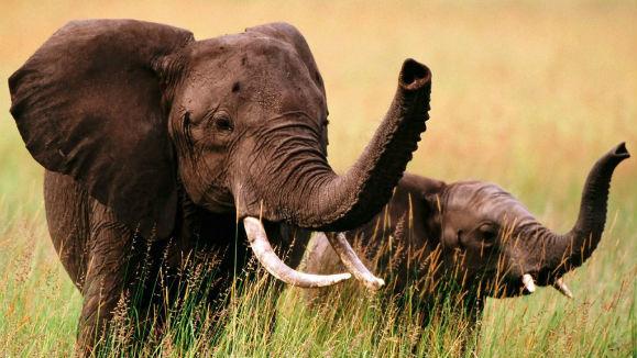 Întâlnirea emoționanță dintre un pui de elefant și mama lui