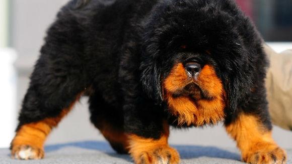 Cât costă cel mai scump câine din lume?