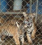 O femeie alapteaza doi pui de tigru in Birmania