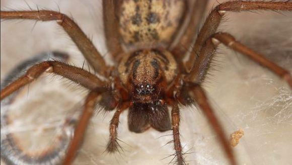 Invazie de păianjeni uriaşi în această toamnă