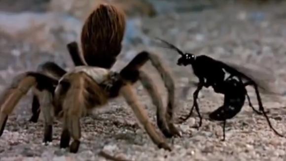"""Când o tarantulă şi o viespe uriaşă """"se iau la trântă""""..."""