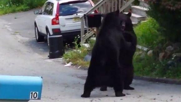 Cum se bat doi urşi în plină stradă. Clipul a devenit viral