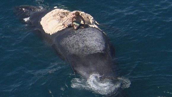 Gestul inconştient al unui australian: s-a urcat pe o balenă moartă, în timp ce rechinii mâncau din ea