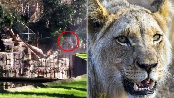 Sfâşiat de trei lei, după ce a intrat intenţionat în cuşca lor - VIDEO