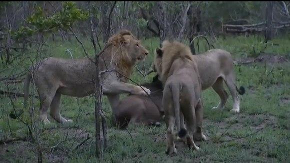 Patru lei, un pui de bivol şi mama lui. Cine rămâne în viaţă - VIDEO