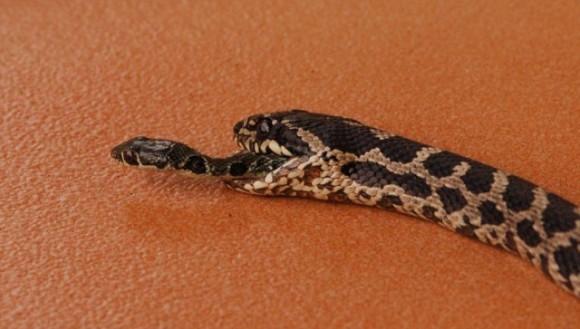 Un șarpe a scăpat din gura altui șarpe, după ce a fost înghițit