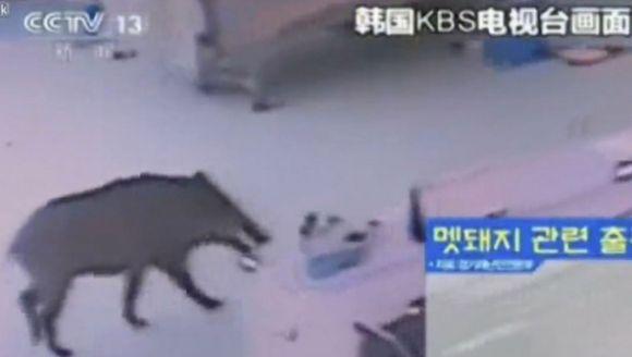 Porc mistreț viu în meniu? Clienți speriați de moarte într-un restaurant din Coreea de Sud VIDEO
