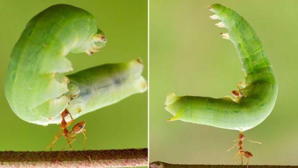 """Fotografii uimitoare: furnica roșie ce ridică o omidă """"uriașă"""" cu gura"""