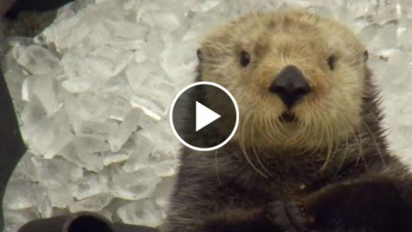 Cum reacționează o vidră când mănâncă un cub de gheață – VIDEO