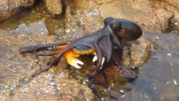 Momentul în care o caracatiță înfometată se repede la un crab – VIDEO