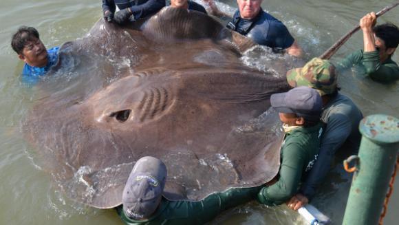 Pește de Cartea Recordurilor – cât măsoară cea mai mare pisică de mare (VIDEO)