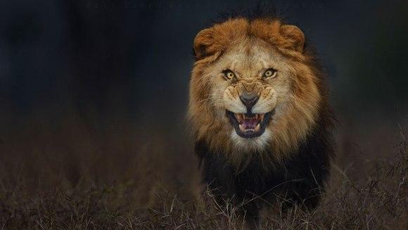 Și-a riscat viața pentru o fotografie. A surprins imaginea unui leu care se pregătea să îl sfâșie