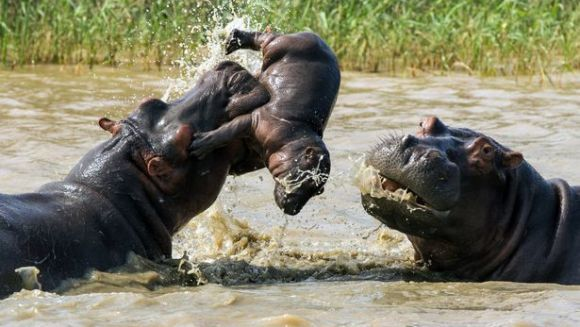 Imagini brutale: un hipopotam mascul ucide un nou-născut, în timp ce mama lui încearcă disperată să îl salveze - Galerie Foto