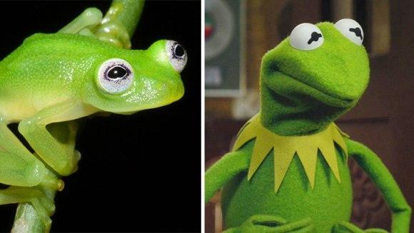 Descoperire : broscuța Kermit – reală în Costa Rica! - Galerie Foto