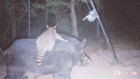 Ratonul care călărește un porc mistreț: a sărit pe spatele bestiei, pentru a ajunge mai ușor la porumb