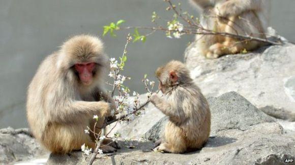 Charlotte, maimuța botezată după mica prințesă britanică, stârnește controverse în Japonia