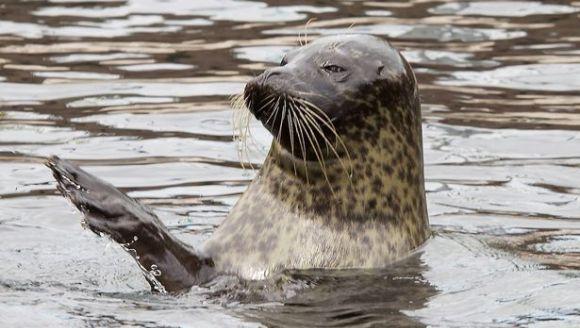 Cea mai fertilă focă – rămâne însărcinată, deși ia pastile, iar masculul este infertil