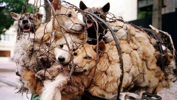 Cum a salvat de la moarte 100 de câini ce trebuia să fie mâncați la un festival din China - Galerie Foto