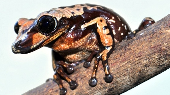 Descoperire: două noi specii de broască veninoasă, ce dețin o tehnică inedită de a ucide
